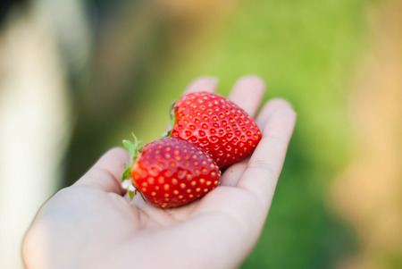 Close up shot Hand pick a branch of strawberry with planting strawberry background Stock Photo