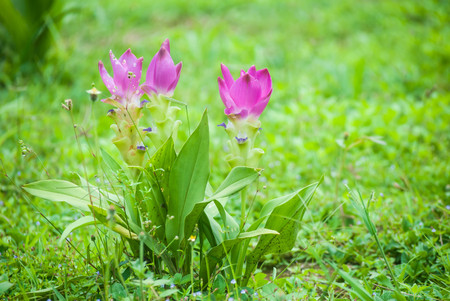 Pink Siam tulips blooming in the forest at Chiang Mai province, Thailand