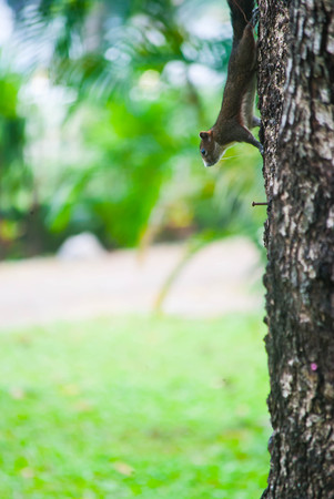 Gray squirrel is running on the trunk of tree closeup. Stock Photo
