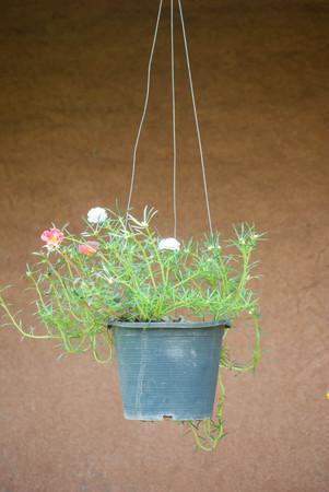 Rosemoss flower in hanging pot Stock Photo