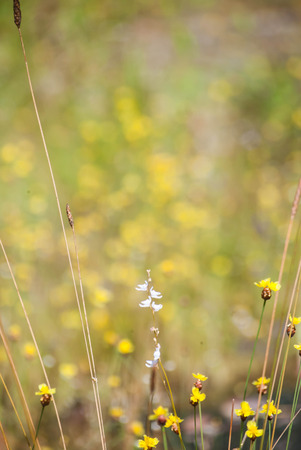 Field of grass flowers in the end of rainy season at the rocky plateau of Pha Tam National Park, Ubon Ratchathani, Thailand Stock Photo