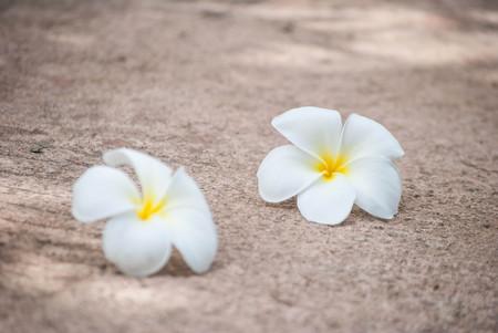 White plumeria flowers on the street