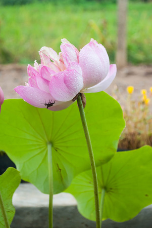 Beautiful pink Lotus in the pool at home garden.
