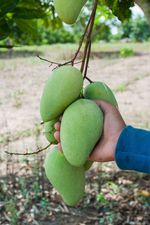 Hand holding a bunch of green and ripe mangoes on a tree in an organic farm.