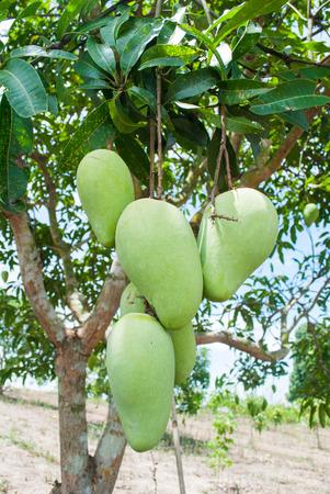 Bunch of green and ripe mango on tree in organic farm.