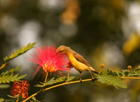 dusky honeyeater pollinating a pink flower