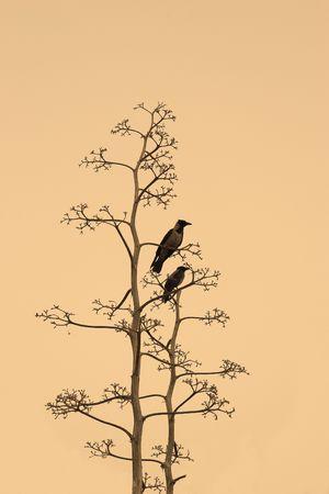 cuervo: Dos cuervos sobre las ramas de un �rbol seco sobre fondo amarillo  Foto de archivo