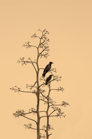Two crows on branches of a dry tree on yellow background