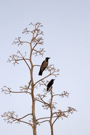 Two birds on branches of a dry tree on light-blue background   photo