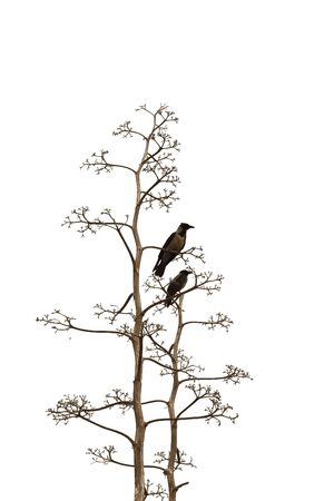 Two birds on branches of a dry tree on white background   photo