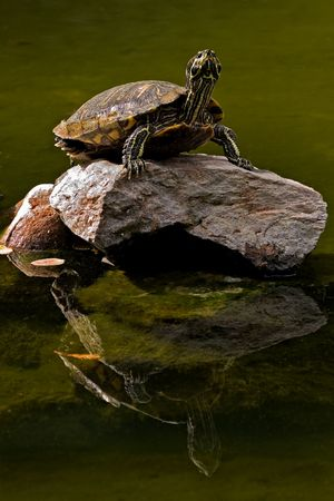Big turtle standing on a rock in the middle of lake  photo
