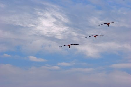 Flying flamingos in Kamarg preserve on Mediterranean Sea coast  Stock Photo - 773212