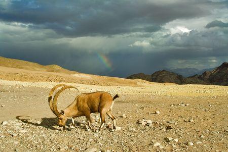 wild goat: Una cabra salvaje en un desierto de la meseta de las monta�as del desierto sobre la ciudad de Eilat en Israel Foto de archivo