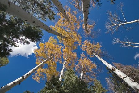 High trees with the yellow autumn leaves, photographed on a background of the dark blue sky Archivio Fotografico