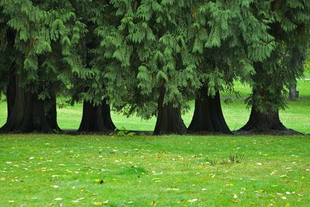 crone: A number of greater trees with the dense crone, growing on a green meadow