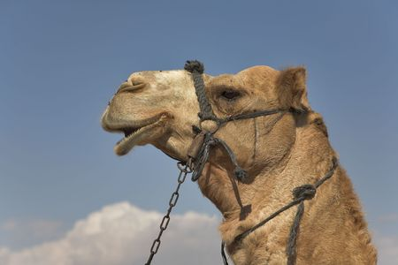 A head of a camel with a bridle on a background of the sky photo