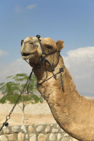 Expressive head of a camel with a bridle  on a background of the sky photo