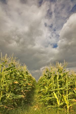 Field of ripe corn under the cloudy sky of Israel photo