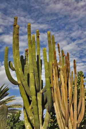 Yellow and green cactuses on a background of the sky and clouds photo
