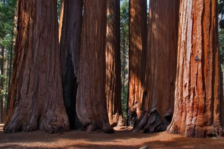 Sun lit feet of giant trees in Sequoia Park  Stock Photo