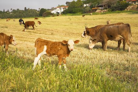 Herd of the corpulent cows, grazed on a pasture Stock Photo - 3160977