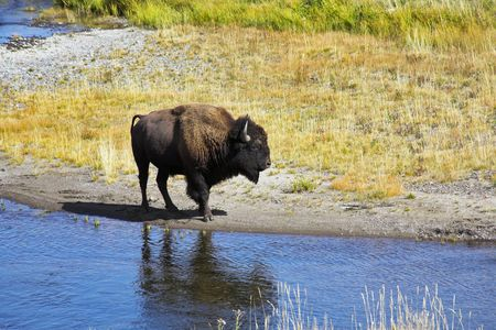Bison on a watering place in well-known Yellowstone national park in USA Stock Photo - 3276160