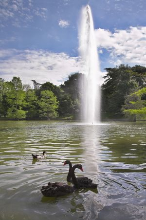 Black swans and ducks in fine lake with a fountain in park Buen Retiro photo