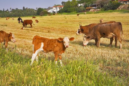 Herd of the corpulent cows, grazed on a pasture Stock Photo - 3295905