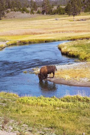 The bison drinks water in well-known Yellowstone national park Stock Photo - 3367603