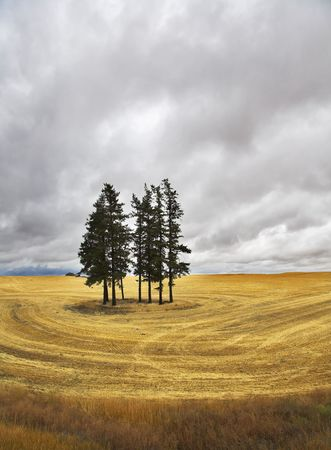 Huge field and some pines in  Montana after a harvest. Stock Photo - 3565691