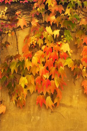 Autumn leaves on walls of old Prague photo