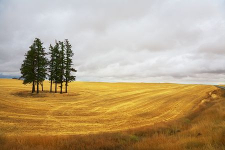 Huge field and some pines in Montana after a harvest. Stock Photo - 3925155