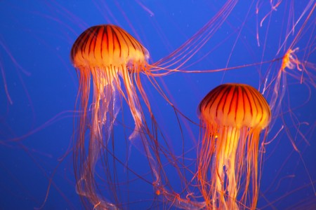 Magnificent bright exotic jellyfishes in an aquarium of an aquapark of Vancouver photo