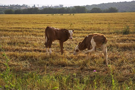 The calfs, grazed in field after harvesting Stock Photo - 4493746