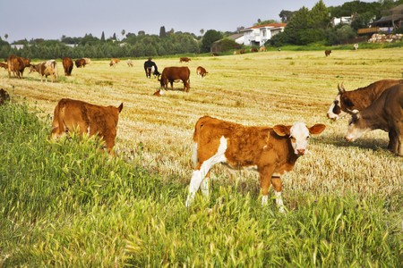 Herd of the corpulent cows, grazed on a pasture Stock Photo - 4554736