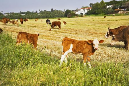 Herd of the corpulent cows, grazed on a pasture Stock Photo - 4625381