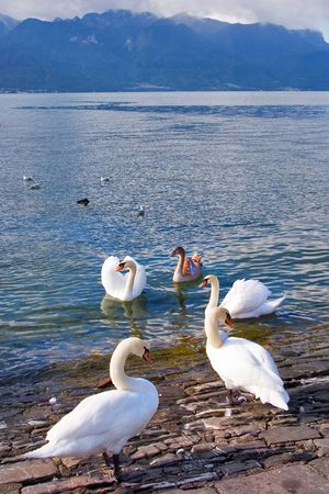 Swans on coast of lake Leman in Switzerland photo