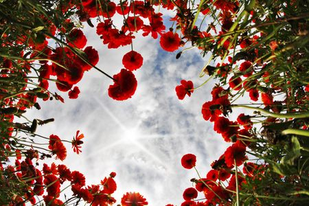 Blossoming field of bright red buttercups on the sunrise, photographed by an objective  the Fish eye  photo