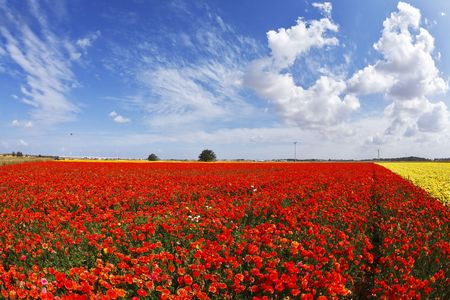 Cloudy spring morning on picturesque flower field photo