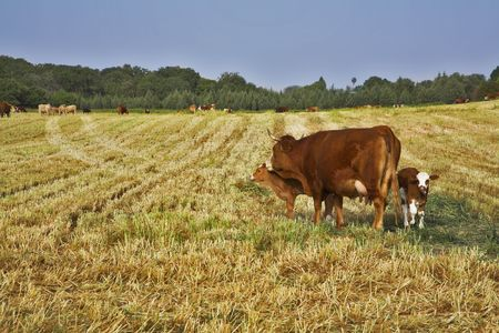 corpulent: The well-groomed corpulent cow with calf on a pasture