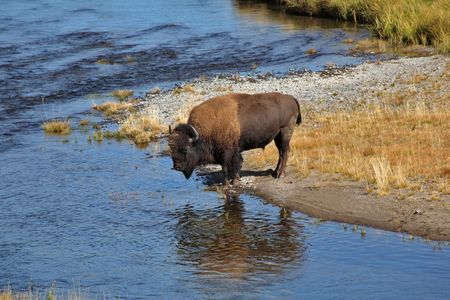 yellowstone: Bisons go on a watering place in Yellowstone national park