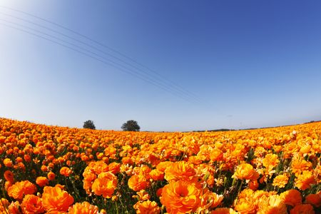 Bright spring flower fields. Orange buttercups