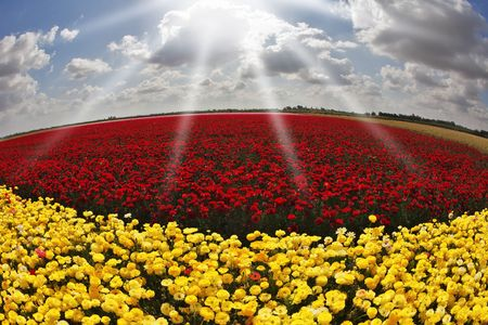 Solar spring day in fields flowers buttercups photo