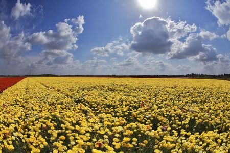 buttercups: Solar spring day in fields flowers buttercups Stock Photo