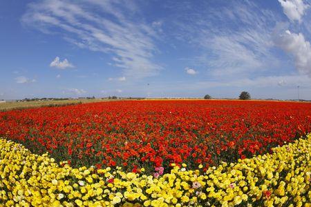 buttercups: Bright multi-coloured field flowers buttercups