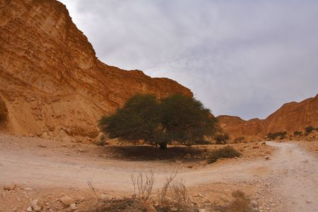 Blossoming tree in ancient mountains of desert of Israel photo