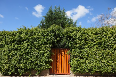 Yellow wooden gate, illuminated by the sun, in the high hedges photo