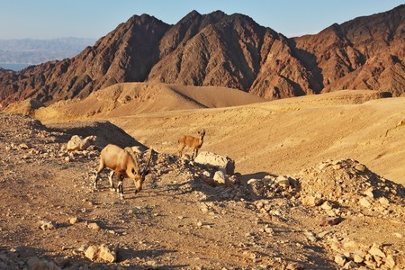 Family wild mountain goats in magnificent stone desert. Israel, mountains of Eilat, coast of Red sea photo