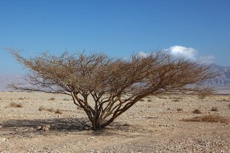 crone: Lonely tree in stone desert with a typical triangular crone Stock Photo