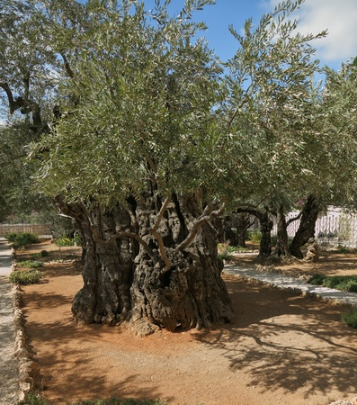 The great city of Jerusalem. Garden of Gethsemane.Thousand-year olive trees photo